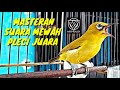 Masteran Wajib Pleci Juara Nasional Kesukaan Juri Suara Mewah Jernih  Mp3 - Mp4 Download