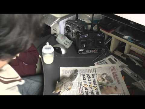Baby Squirrel Justin Bieber the Squirrel daily post north wales news
