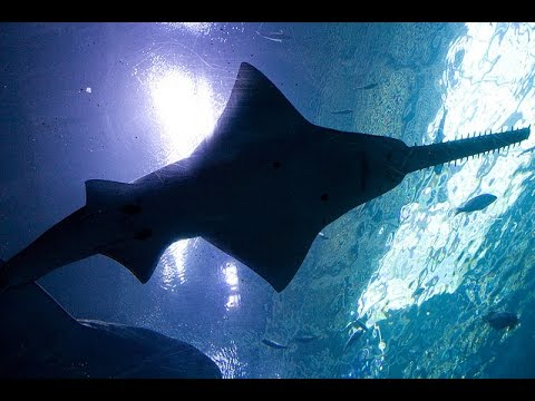 Facts: The Sawfish (Carpenter Shark)