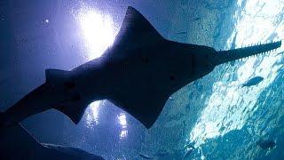 Facts: The Sawfish (Carpenter Shark)