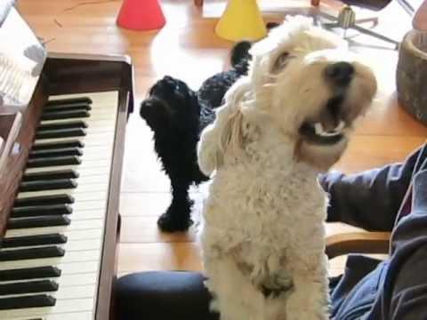 Happy spoodle dog