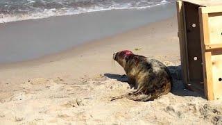 Spaziergänger gefährden Robbenbabys an der Ostsee
