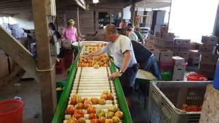 Sorting and packing Tomatoes