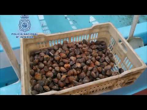 Retiran 25 toneladas de almejas japónicas ilegales para su consumo