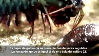 El impresionante golpe de la galera boxeadora (camarón mantis)