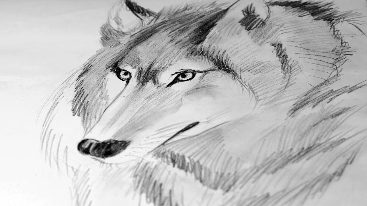 How to draw a wolf pencil drawing wolf face sketch speed drawing of a wolf
