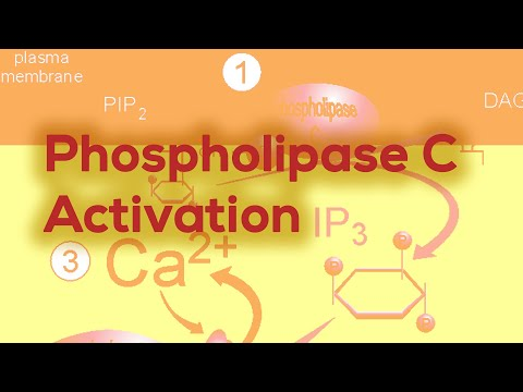 GPCRs (phospholipase C activation IP3 & DAG, Diacyl Glycerol)