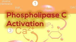 GPCRs (phospholipase C activation IP3 & DAG, Diacyl Glycerol)