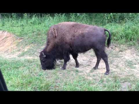 Buffalo eating - Land between the Lakes