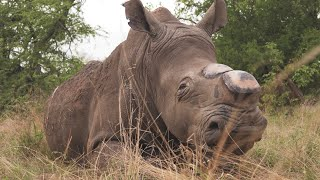 Dehorning Rhinos in the Greater Kruger