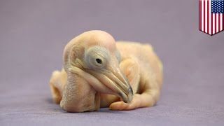 Bird Dog! Watch This Cute Two-day Old Dalmatian Pelican Chick Bark Like A Dog
