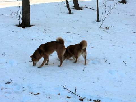 Two shiba inus hunting under the snow