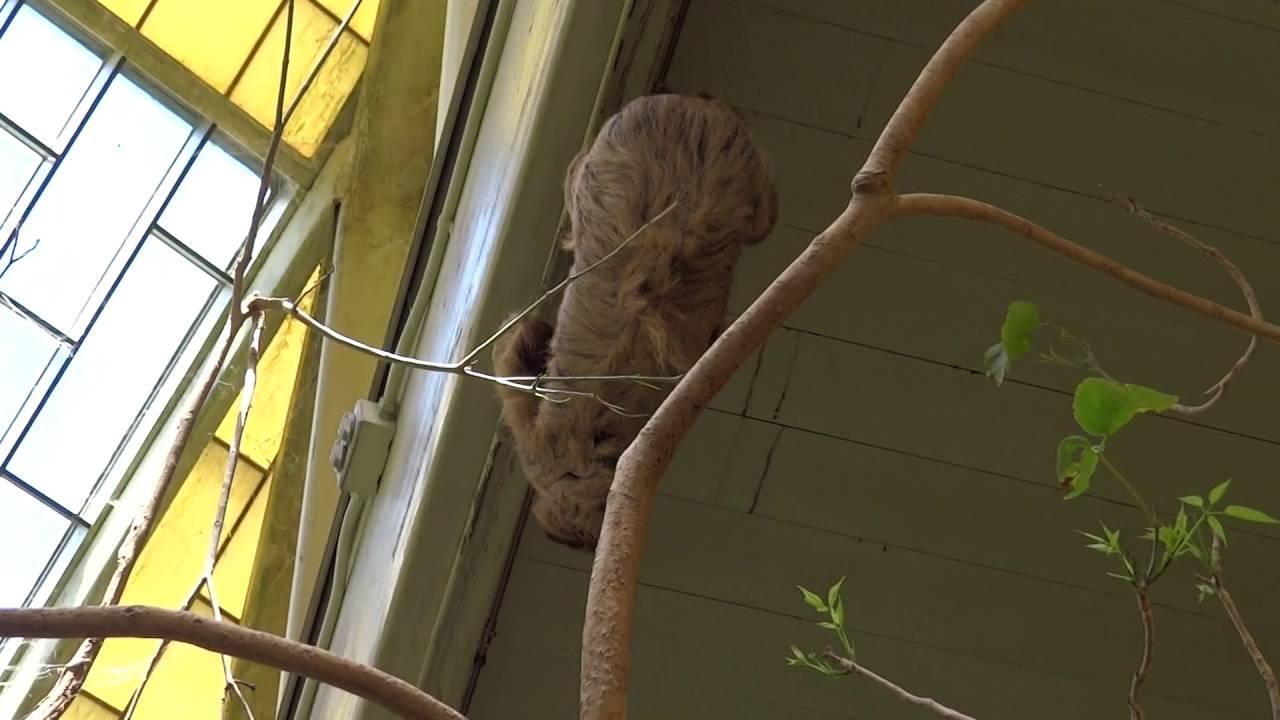 Sloth moving around Fresno Chaffee Zoo YouTube