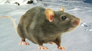 Караул Крысы