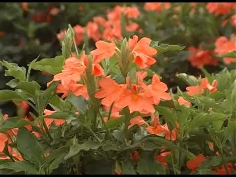 Crossandra flower varieties-kanakambara