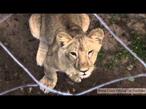 Canned Lion Hunting Is 'damaging Brand South Africa'