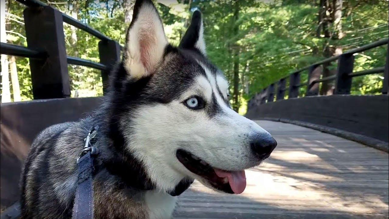 Image result for husky walk