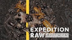 WATCH: Billions of Bugs Feast on Flesh and Dung in Borneo | Expedition Raw