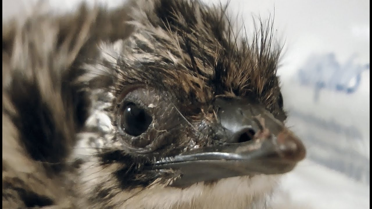Baby Newborn Youtube Newborn Emu Chick Hatching From An Egg In Hd Youtube