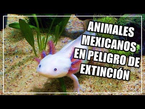 Animales mexicanos en peligro de extinción | CIENCIA A LA MEXICANA