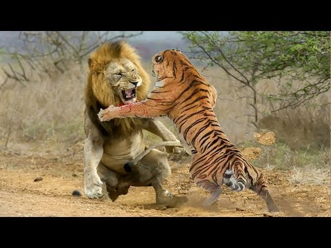 Lion VS Tiger - Tiger VS Lion - Aspin