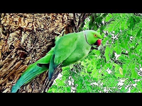 Rose Ringed Parakeet or Psittacula krameri Nest & Feeding to Nestling or Chicks and enter in to nest