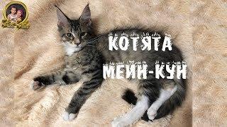 МЕЙН-КУН САМЫЕ БОЛЬШИЕ ДОМАШНИЕ КОШКИ/МЕЙНКУН/Sisters Smith
