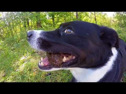 Naira the crazy swiss dog - Appenzeller Border Collie mix in the Alps