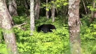 Black bear  is eating in shenandoah park virginia.