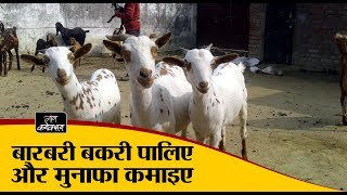 बारबरी बकरी पालिए और मुनाफा कमाइए | Profit from  Barbari goat farming |