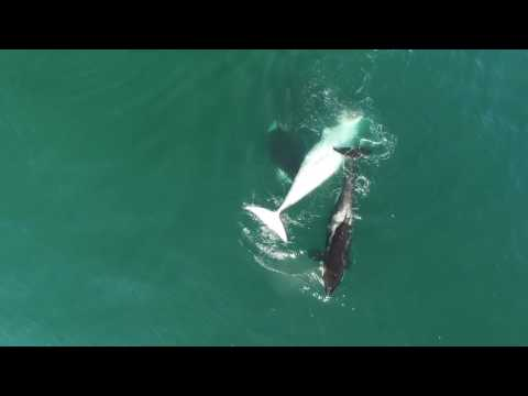 Dramatic Drone Video Shows Pod Of Orcas Feasting On Minke Whale In Russia