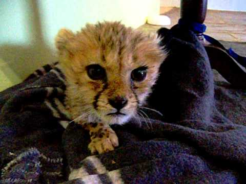 Cute Baby Cheetah Kitten Mewing - YouTube