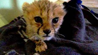 Cute Baby Cheetah Kitten Mewing