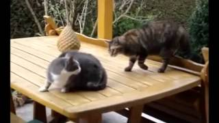 смотреть смешные видео про кошек революционерок шок