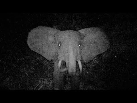Before buying ivory jewellery or carved ivory objects, watch the video of this elephant (Gabon)