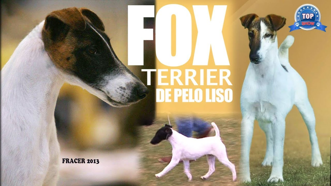 FOX TERRIER PELO LISO - YouTube