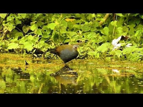 Saracura-do-mato se alimentando na lagoa, Aramides saracura, Slaty-breasted Wood-Rail,
