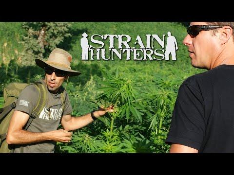 Strain Hunters Cannabis Revolution