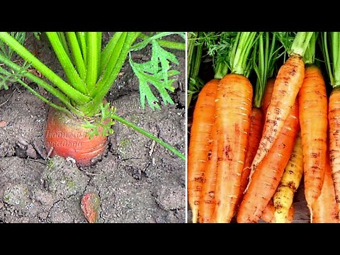 Почему морковь зеленеет на грядке и что делать, чтобы предотвратить позеленение моркови