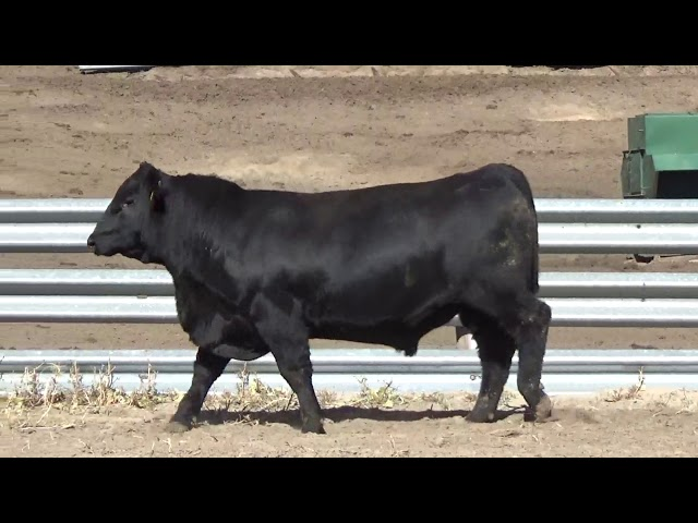Connealy Angus Lot 145