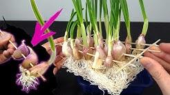 Cultiva ajos en casa sin parar atravesándolos con un palillo y agua - cultivo hidróponico -
