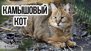 Камышовый кот / Интересные факты о кошках