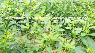 [Pepper virus]Plant virus inhibitor treatment on TSWV 2