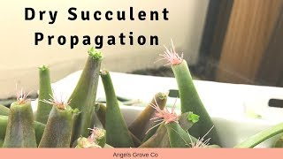 Dry Succulent Propagation // Angels Grove Co