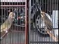 Burung Cucak Rowo Gacor Siap Tanding Cocok Buat Masteran Burung Pemula  Mp3 - Mp4 Download