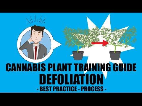 Defoliation – Marijuana Training Techniques
