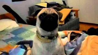 Pug Barks