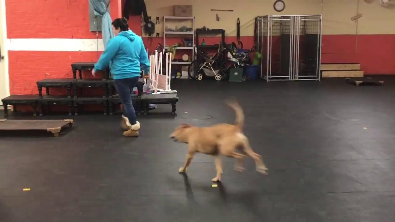 Training Baxter Door Bell Training Solid K9 Training Dog