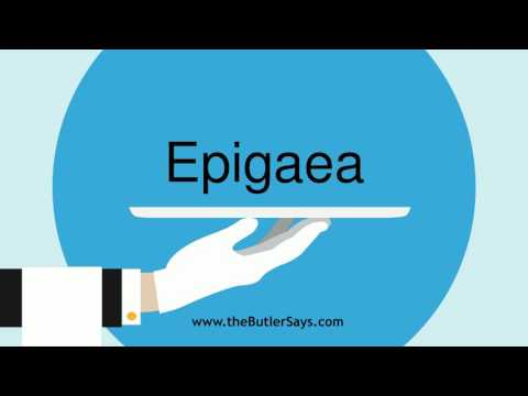 "Learn how to say this word: ""Epigaea"""