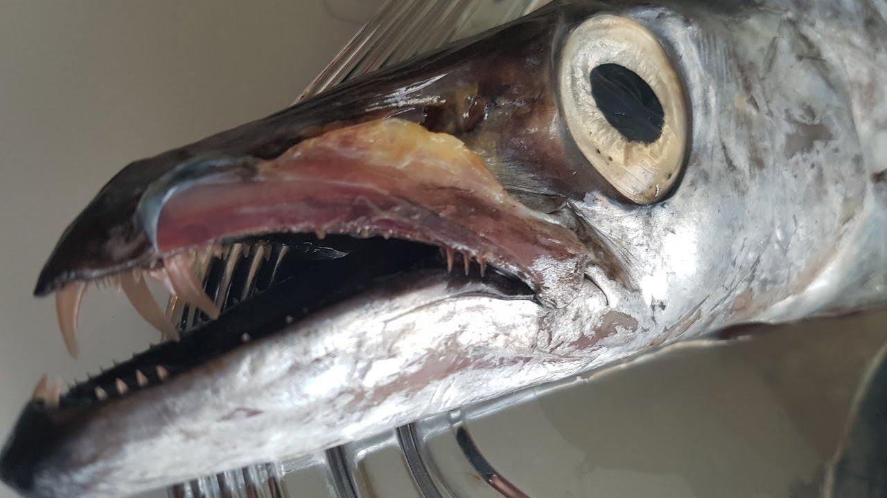 билете рыба сабля картинки расположены примерно шести